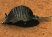 Nine-banded-armadillo-ztuac