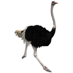 Southern Ostrich remake (male).