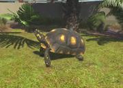 Yellow-footed-tortoise-ztuac
