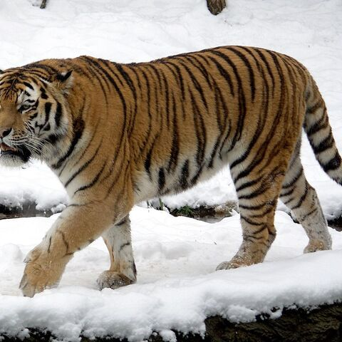 A male Siberian tiger at the Leipzig Zoo