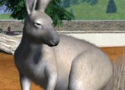 Western-grey-kangaroo-ztuac