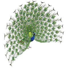 Indian Peafowl remake (male).