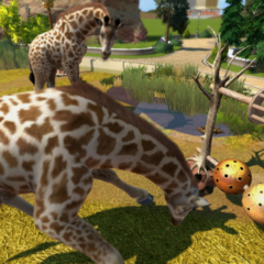 West African Giraffes