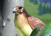 Brown-falcon-ztuac