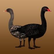 Black Swan (MiBound) Render