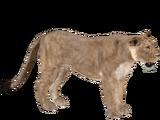 Asiatic Lion (Yukon)