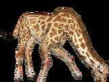 West African Giraffe (DutchDesigns)