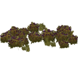 Blueberry Bush (HENDRIX)