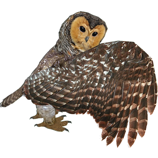 spotted wood owl mibound zt2 download library wiki fandom