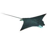 Spotted Eagle Ray (DutchDesigns)