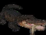 American Alligator (Scott)