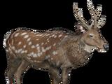 Sika Deer (Lgcfm)