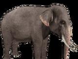 Asian Elephant (Aurora Designs)