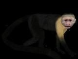 White-headed Capuchin (MiBound & Zebrasorus)