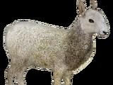 Border Leicester Sheep (Milchman, Platypus, RazvanM & Slice)