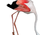 Greater Flamingo (Aurora Designs)