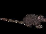 Live Food Rat (ZTABC Team)
