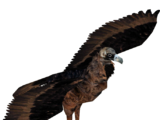 Cinereous Vulture (Hispa Designs)