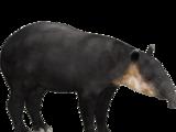 Baird's Tapir (Dwyqyjt)