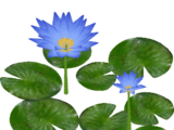 Giant Water Lily (Hispa Designs)