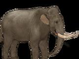 Dwarf Sicilian Elephant (Tamara Henson)