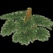 Chilean Rhubarb (Otter Lord)