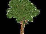 Rainbow Eucalyptus (Whalebite)