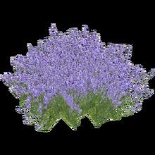 Lavender (HENDRIX)