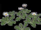 Daisy (Aurora Designs)