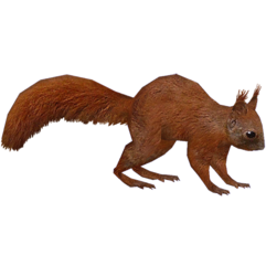 Red Squirrel (HENDRIX)