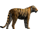 Bengal Tiger (Aurora Designs)