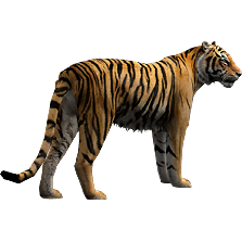 Bengal Tiger Aurora Designs Zt2 Download Library Wiki