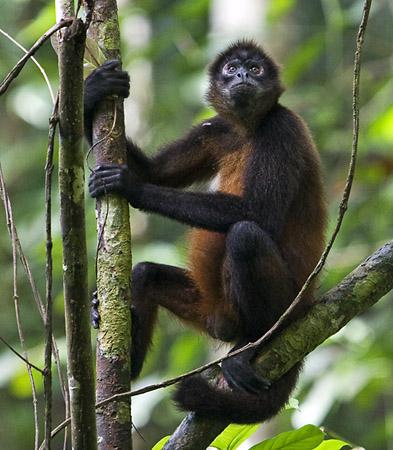 File:Spider-Monkey-of-Costa-Rica.jpg