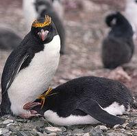 Pingwin zlotoczuby 2