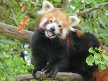 Panda mala – strona glowna