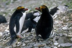 Pingwin zlotoczuby