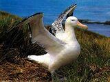 Albatros Wędrowny