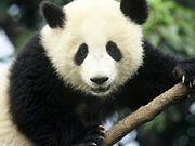 Panda wielka 3