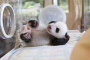 Panda wielka 6