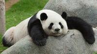 Panda wielka 2