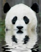 Panda wielka 4