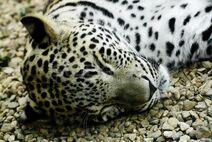 1746642 stock-photo-lying-and-sleeping-snow-leopard-irbis-panthera-uncia