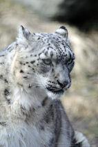 Snow leopard portrait by 8twilightangel8-d3dhjg3