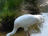 Żuraw Biały