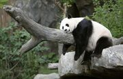 Panda wielka 5