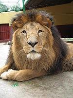 Lew grzywa