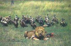 Lew - pożywienie