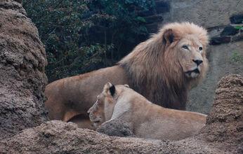 Lew południoafrykański