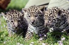 Młode jaguara