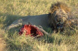 Lew jędzący guźca